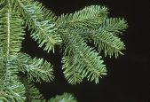tree-canaan-fir-closeup