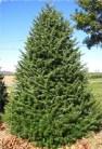 tree-canaan-fir