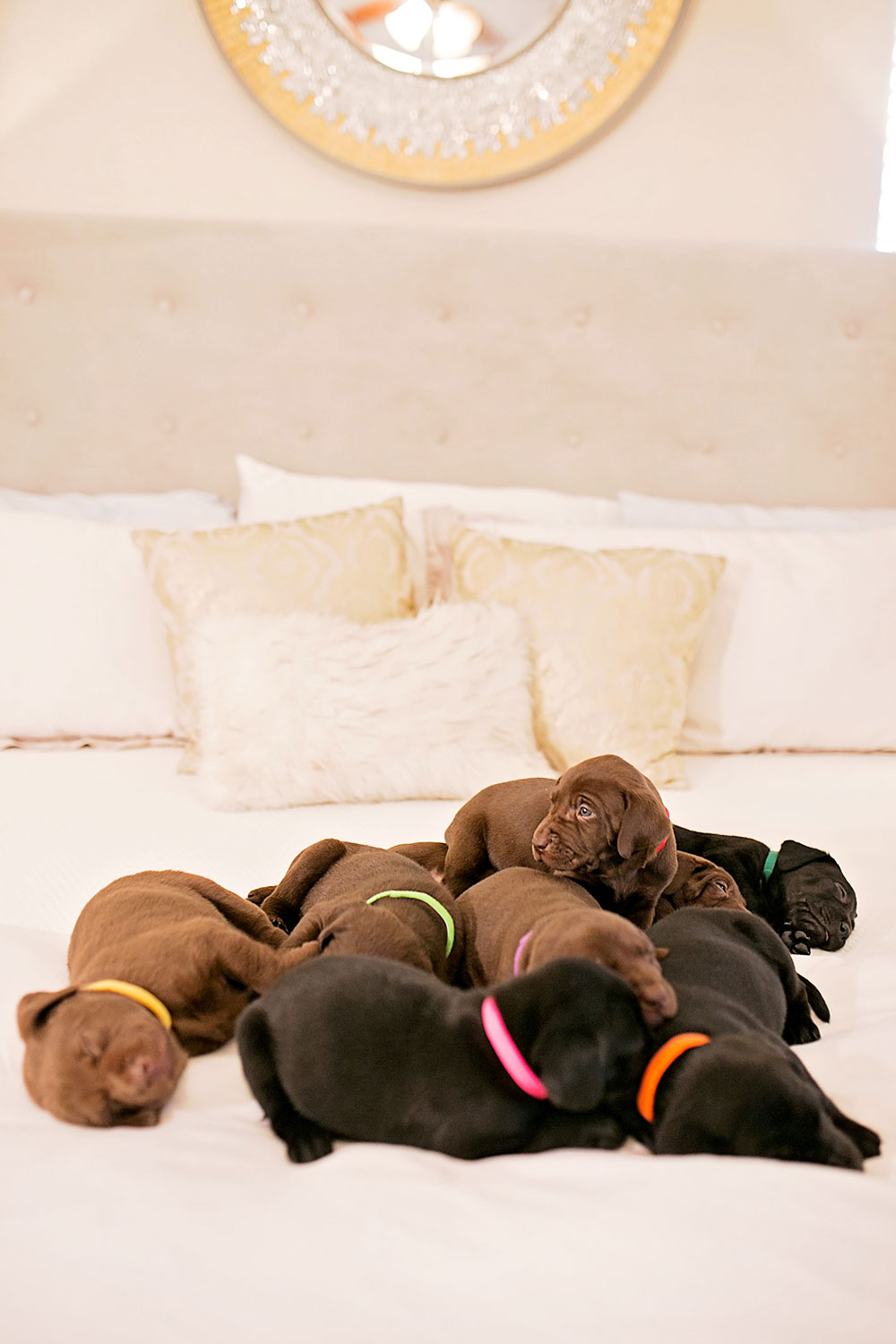 black-chocolate-lab-puppy-litter