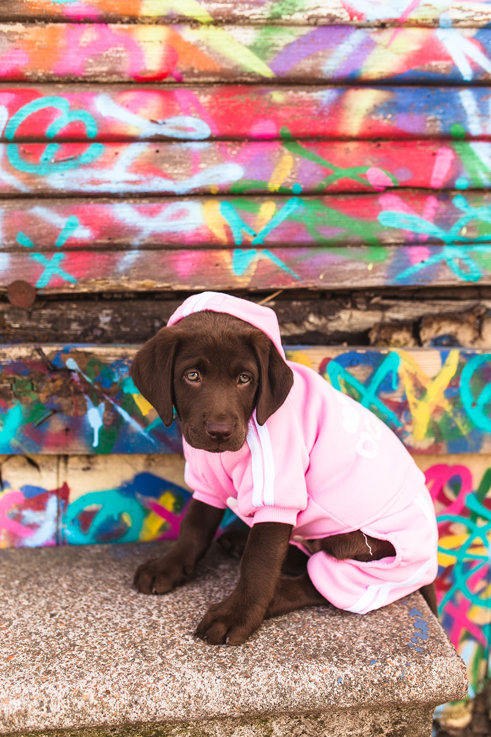 chocolate lab puppy pictures