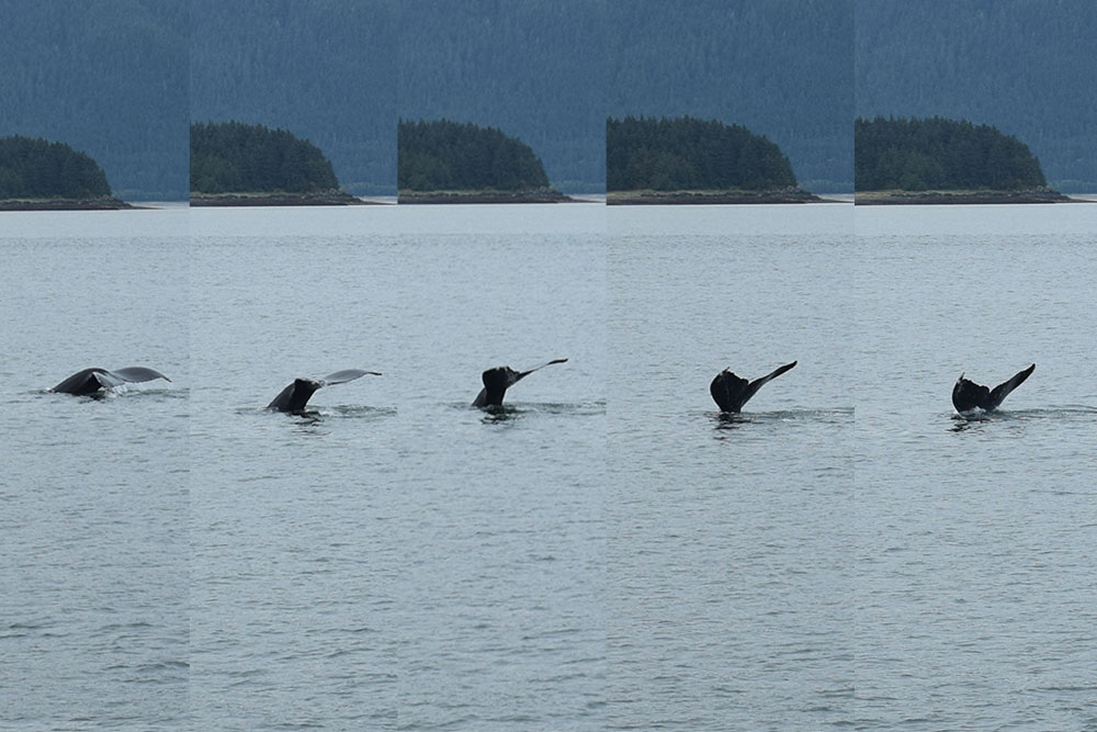 alaskan humpback whale watching