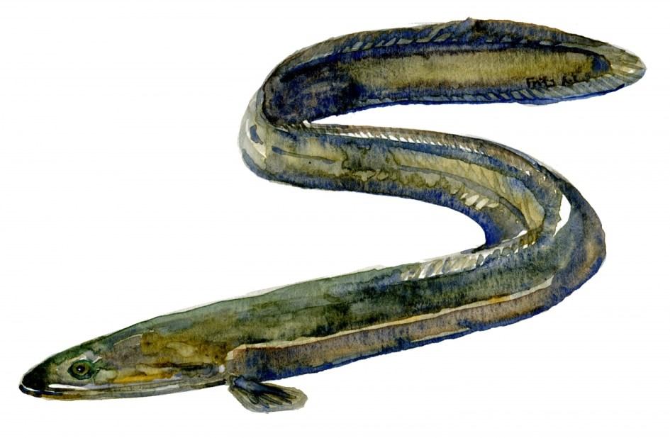 Akvarel af ål