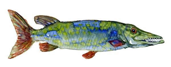 Akvarel af gedde fisk