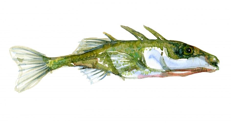Akvarel af Hundestejle fisk