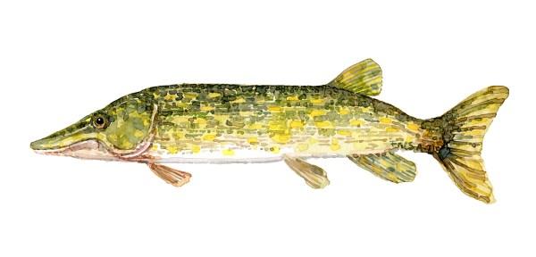 akvarel af gedde, stor rovfisk i danmark, illustration af frits Ahlefeldt