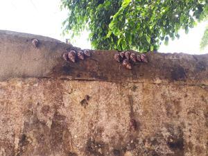 Caramujos invadem Escola Municipal Agostinho Ramalho em Pinheiro