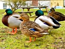 Smiling Ducks
