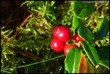 Lingon. (cowberry ?)
