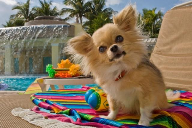 dog-on-vacation-at-hotel