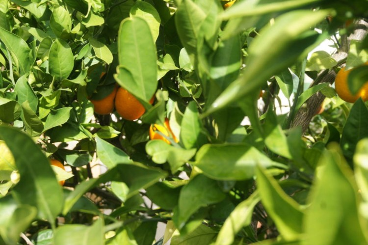 clementines-hanging