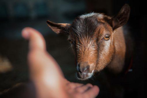 Wonderland GJ Landslider, Nigerian Dwarf Goat herd buck