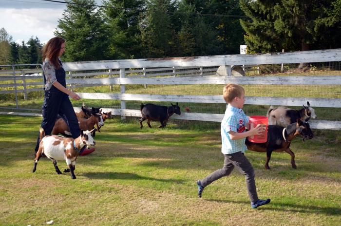 Walking with nigerian dwarf goats