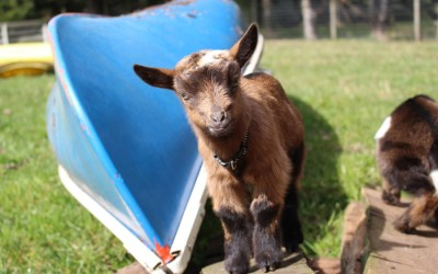 Caring For Your Pet Wethers