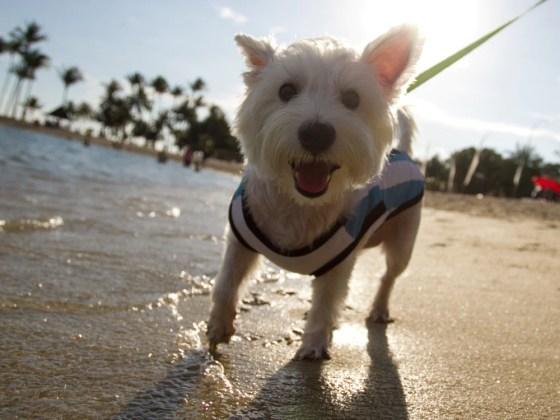 Dog-friendly Tanjong Beach, Sentosa   Vanillapup