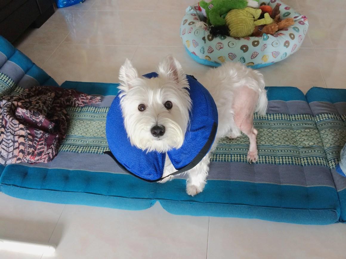 Luxating Patella Surgery Wound | Vanillapup