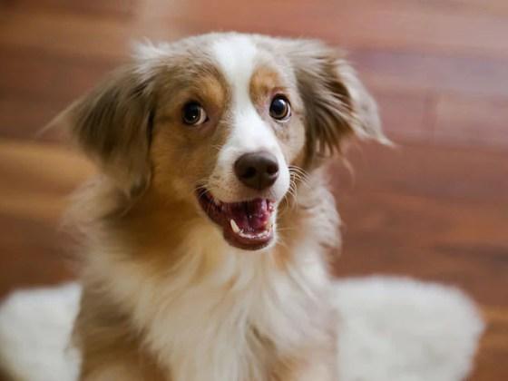Happy and obedient dog | Vanillapup