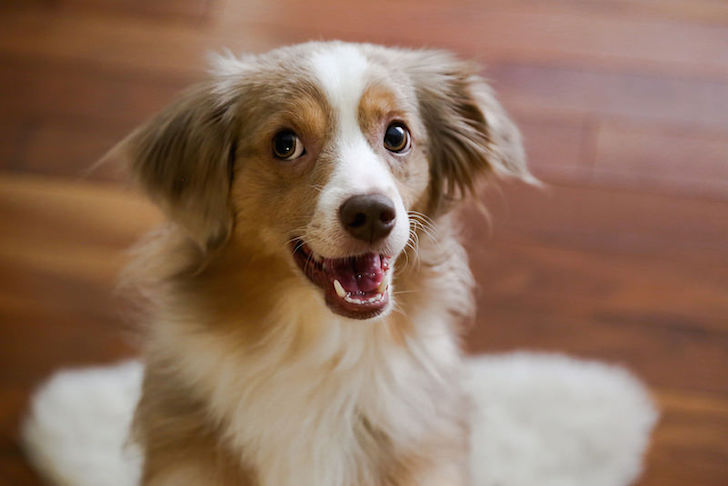 Happy and obedient dog   Vanillapup