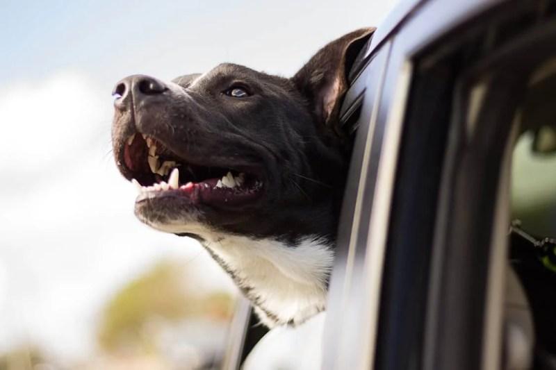 Dog Enjoying a Car Ride   Vanillapup