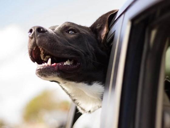 Dog Enjoying a Car Ride | Vanillapup