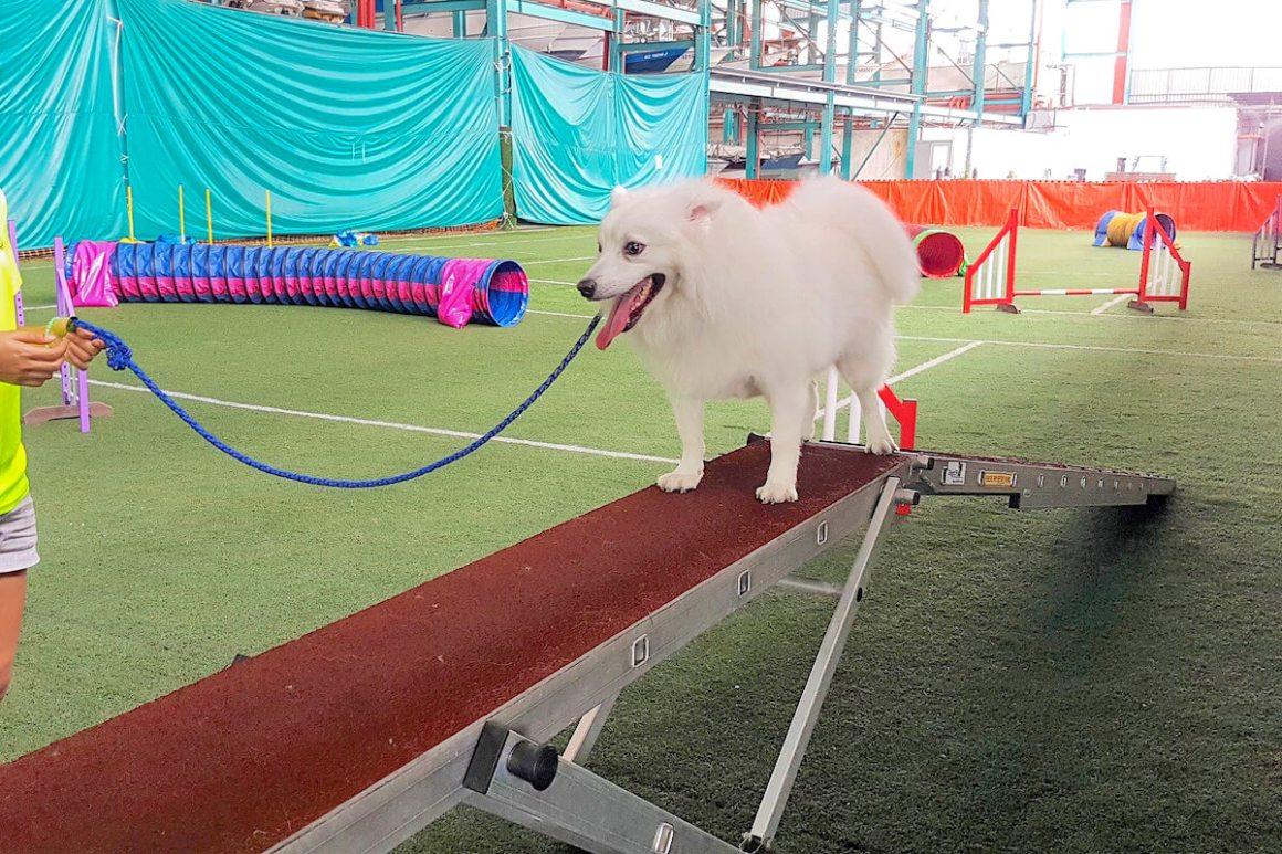 Singapore Indoor Dog Agility Arena Dog Walk | Vanillapup