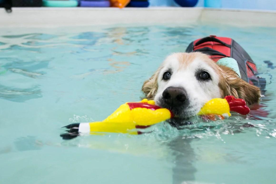 Golden Retriever During Hydrotherapy | Vanillapup