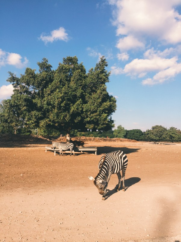 Zebra in African Safari