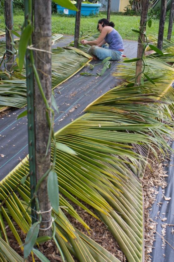 The vanilla cuttings are laid with their rooting ends in the mulch.