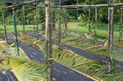A bamboo trellis is built, using steel t-posts to secure the uprights.