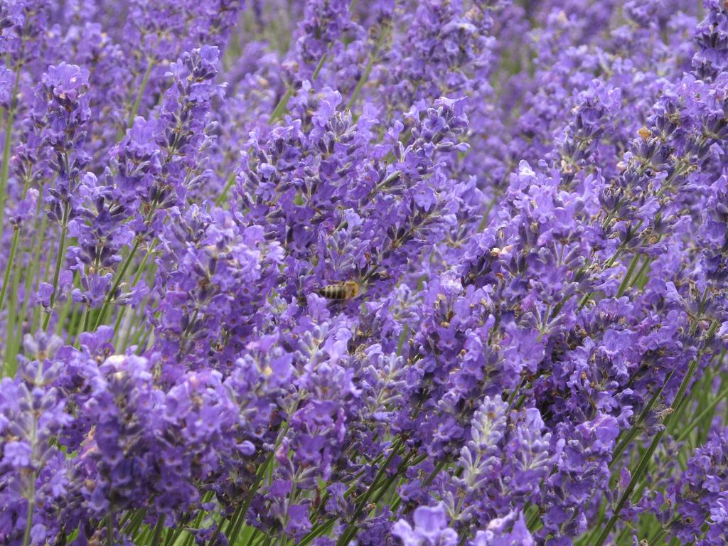Salt Spring Lavender Festival July 3 2011 Van Isle Marina