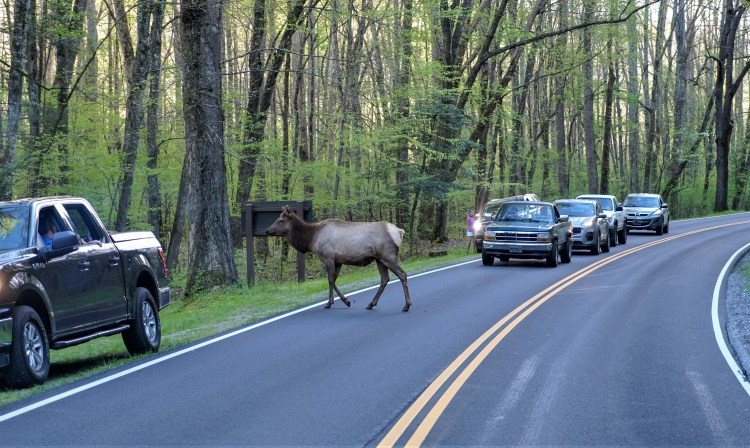 Animals of the Smoky Mountains_elk