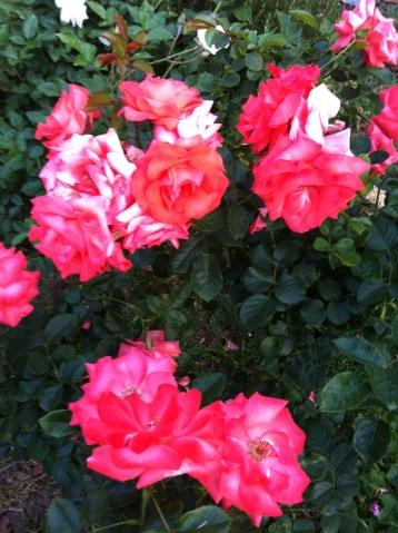 Rosey Glow