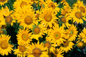 Wild Balsamroot in Bloom
