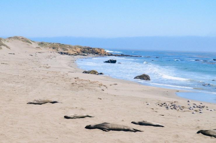 San Simeon Elephant Seals-7.jpg