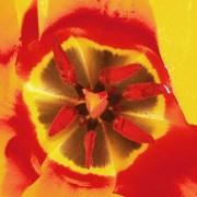 Tulip-interior-P4020165