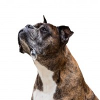 Hundens slickande med saliv hjälper sårläkning