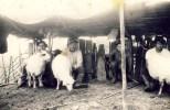 Mulsul oilor în Tomnatec