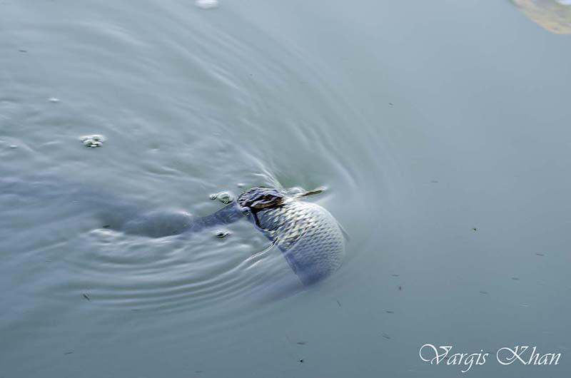 snake-catching-fish-in-karna-lake-1