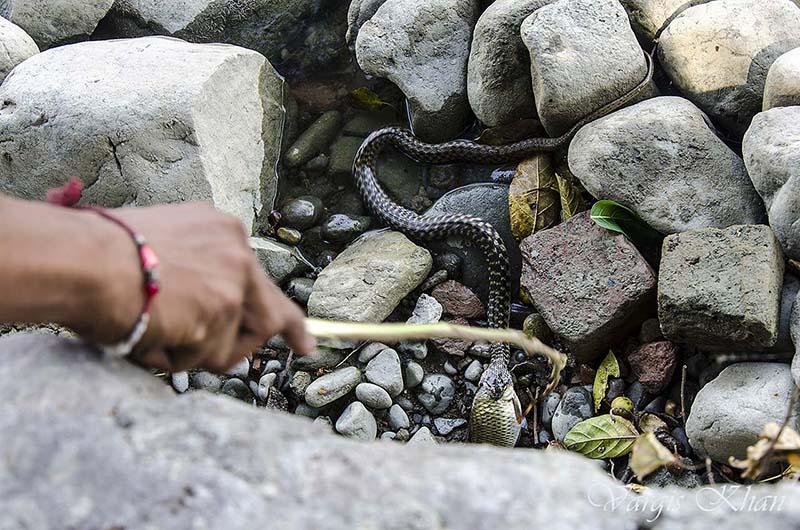 snake-catching-fish-in-karna-lake-4