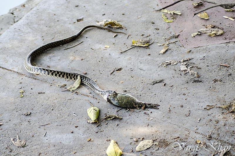 snake-catching-fish-in-karna-lake-5