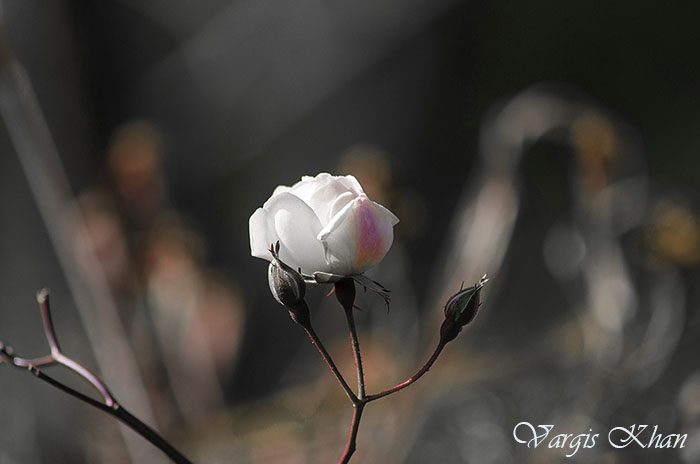 vargis-khan-flower-photography-6