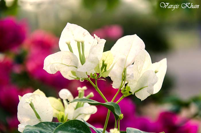 flowers-at-india-gate-1