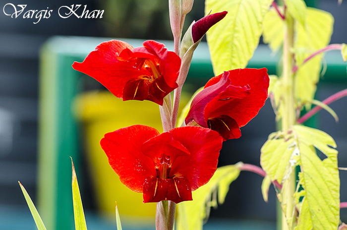 vargis-khan-photography-flowers-3
