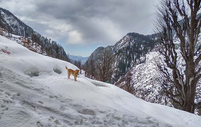 a dog in malana village