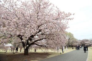 Tokyo, Japan: Many tourists visit to Shinjuku Gyoen National Garden for seeing the cherry blossom trees, Japan. 新宿御苑の桜