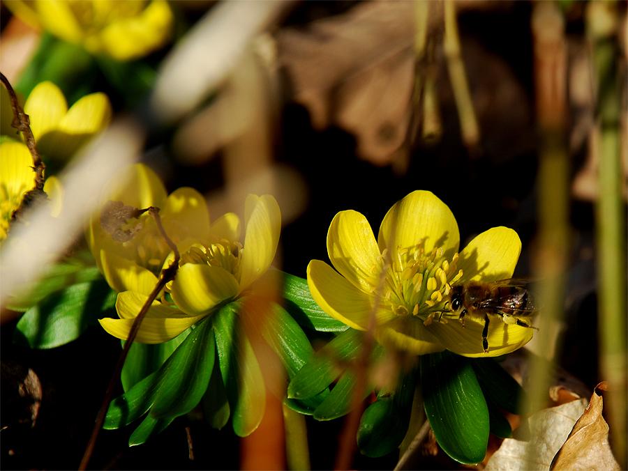 Bi med gule pollenbukser, henter pollen i en erantis.