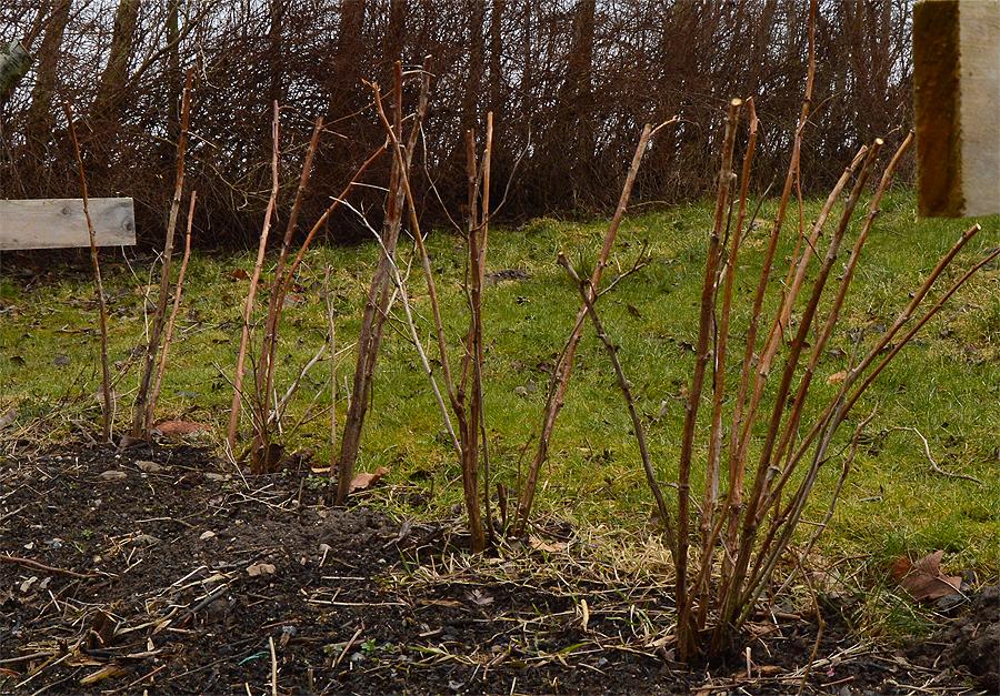 Hindbærplanter til tidelige bær.