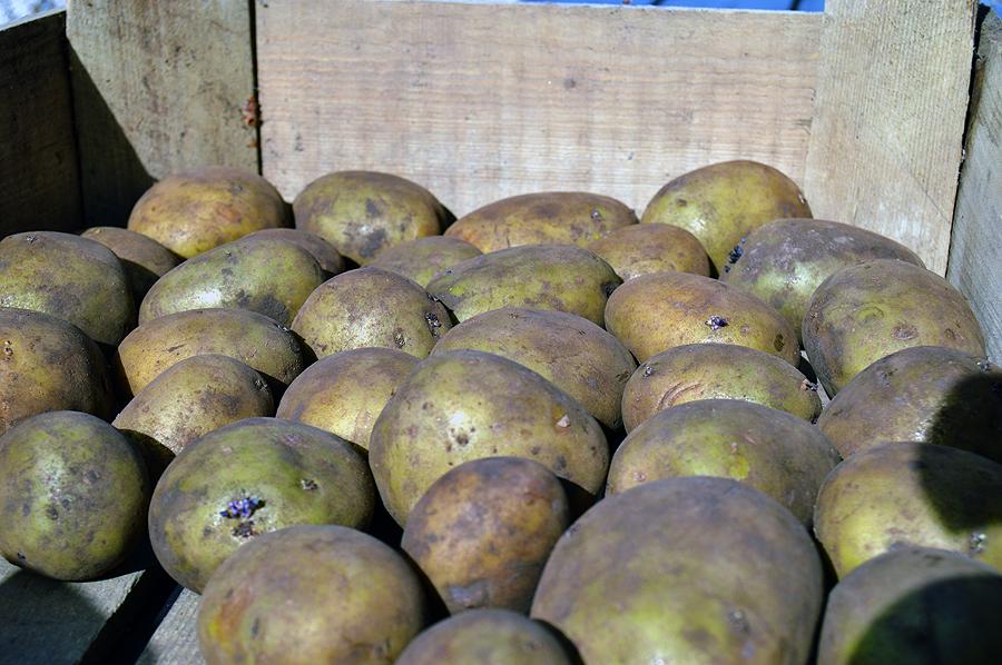 Læggekartofler til spiring.