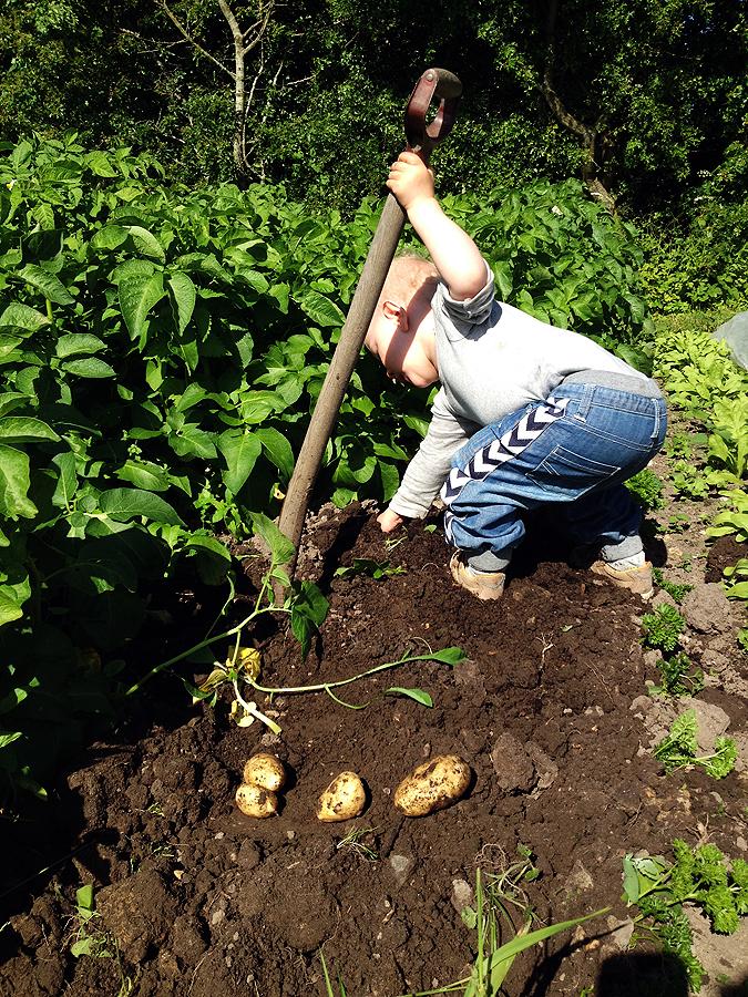 Asger, 2 år, i gang med at grave nye kartofler op.