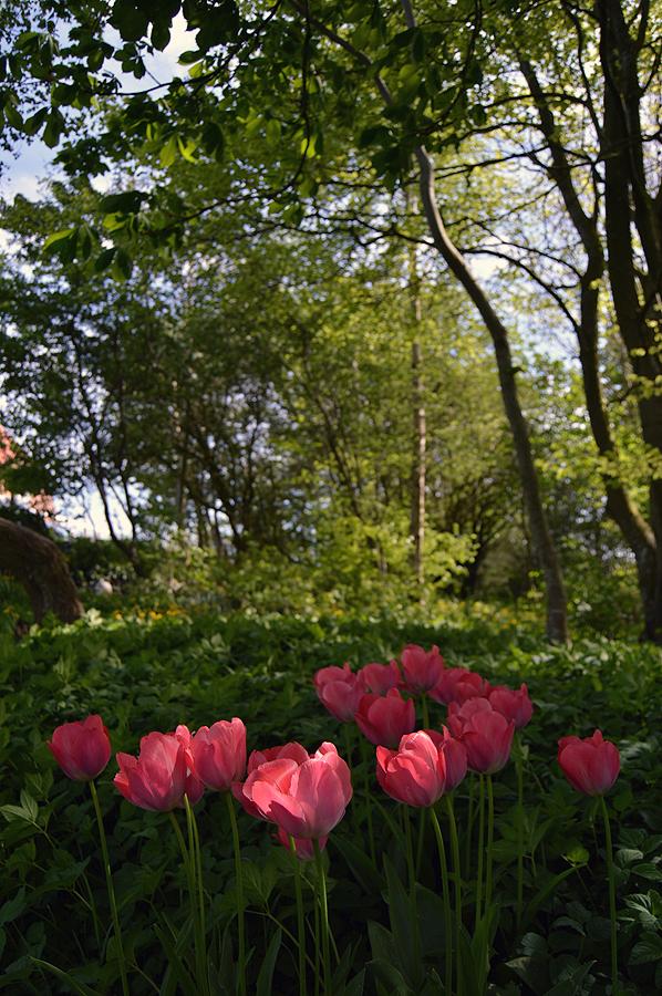 Tulipaner i skovhaven