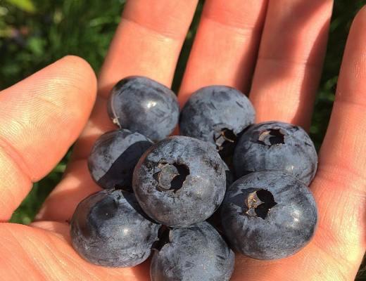 God modne blåbær.
